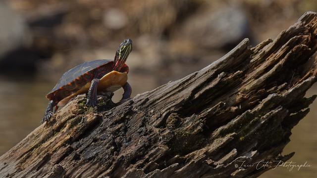 Painted Turtle / Tortue peinte (in Explore)