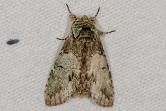 Mottled Prominent Moth