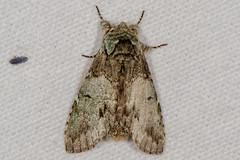 Mottled Prominent Moth