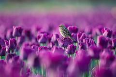 Savannah Sparrow resting on a tulip