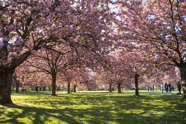 Se prélasser dans l'herbe fraîche, à l'ombre des branches de cerisiers en fleur se balançant au grès du vent ... une douce journée de printemps