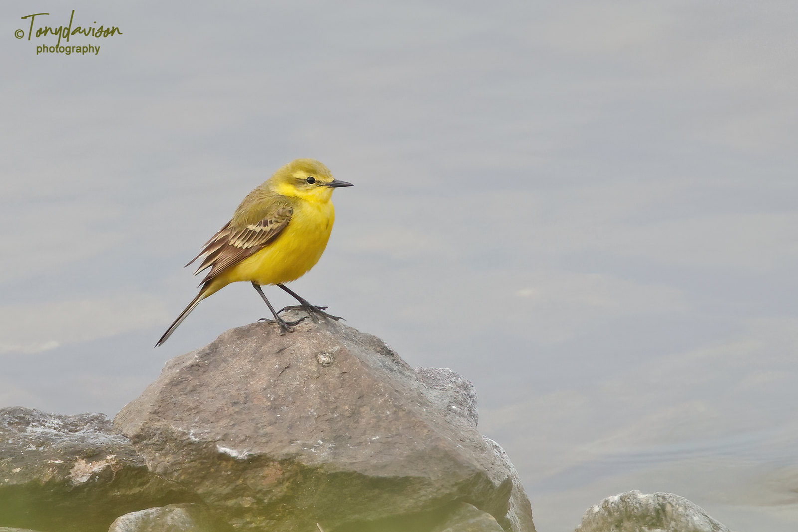 Yellow Wagtail - male
