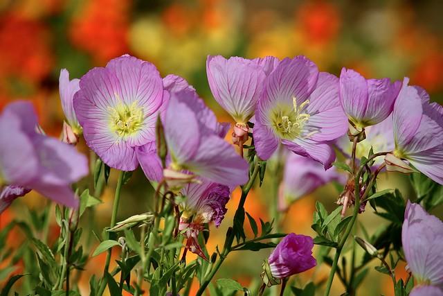 Mexican Evening Primrose - Oenothera speciosa