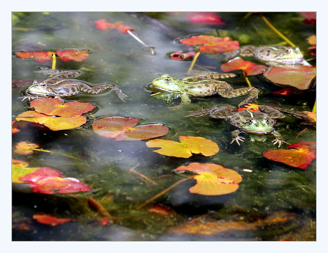 frogs courting