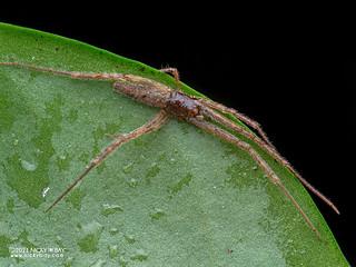 Comb-footed spider (Brunepisinus sp.) - P4188000