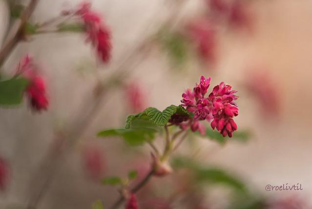 Ribes /Flowering