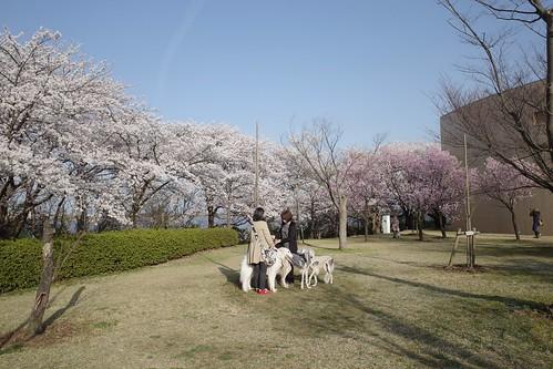 Sakura memories 2021 3