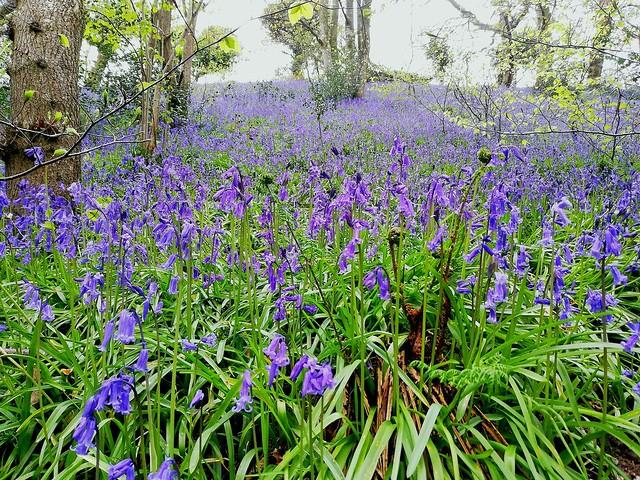 Wednesday Walk - Trough of Bowland. Bluebells!