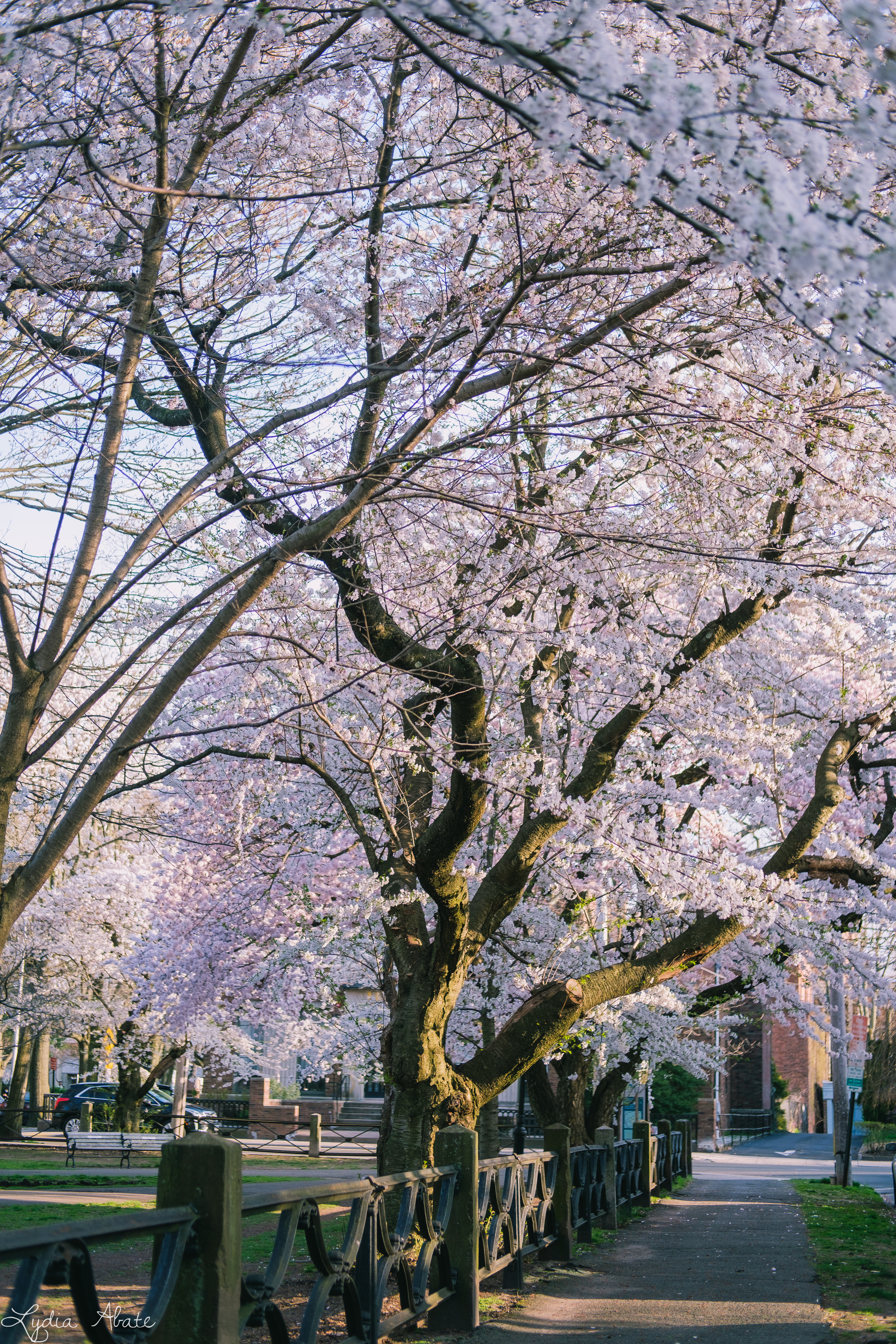 wooster square blossoms-1.jpg