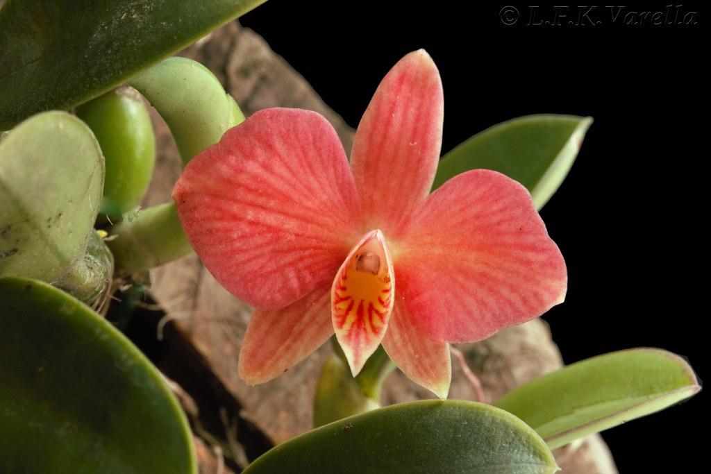Cattleya wittigiana (Sophronitis wittigiana)