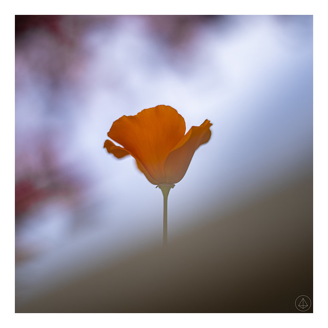 DSC3299-2 (Poppy Blur)