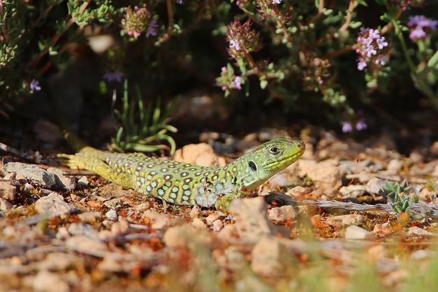 Lézard ocellé (Ocellated lizard)  - Timon lepidus