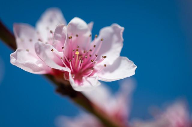 Little peach blossom