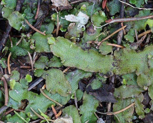 Conocephalum conicum or Conocephalum salebrosum