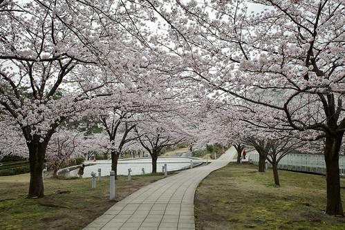Sakura memories 2021 2