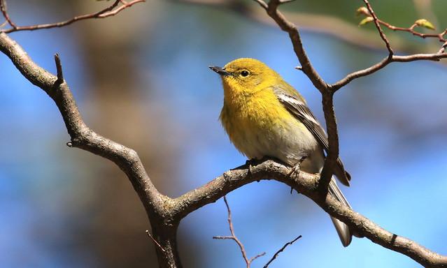 Pine Warbler / Paruline des pins ( Richard )