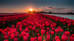 Red tulips, made in Holland