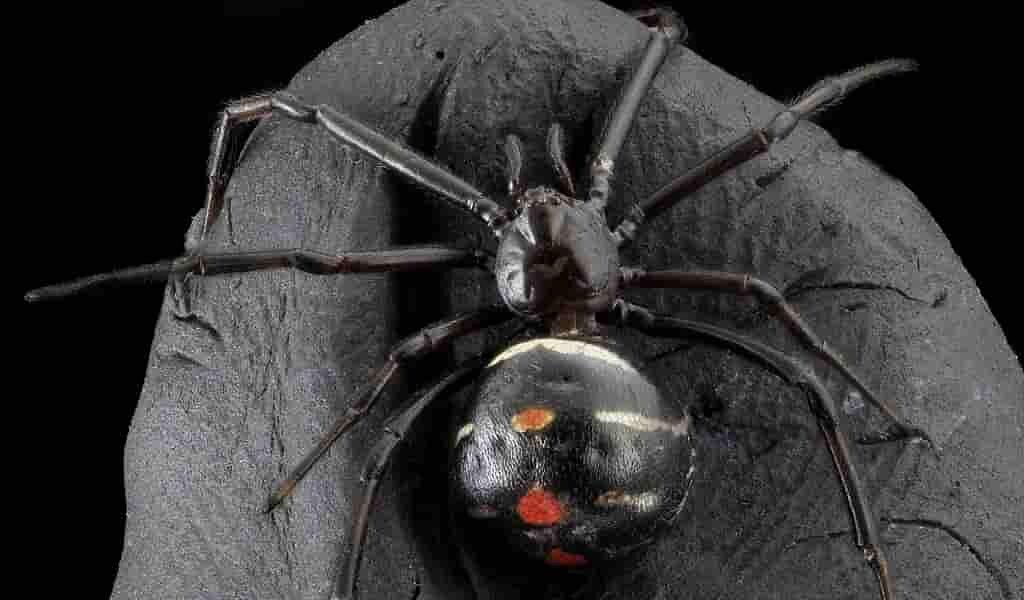 La veuve noire s'accouple avec des mâles et les mange