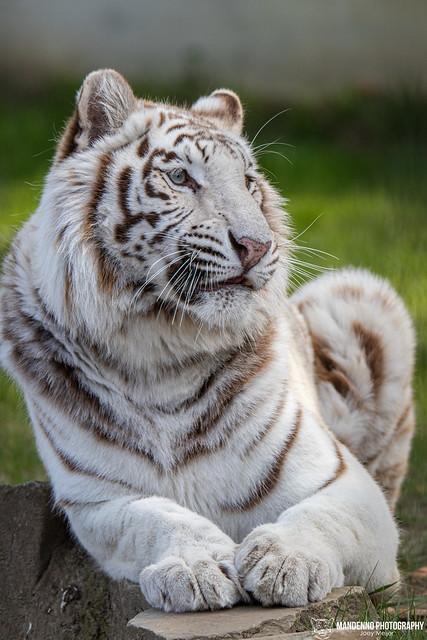 White Bengal Tigress