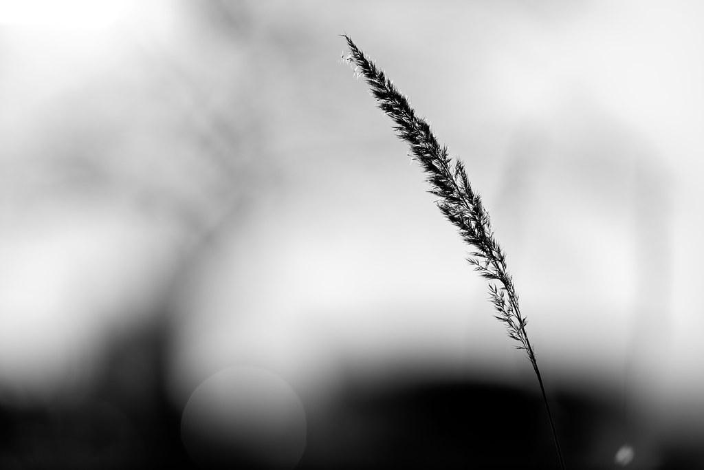 Grasähre