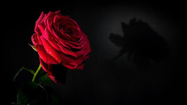 Eine Rose für...