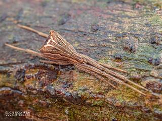 Comb-footed spider (Brunepisinus sp.) - P4188479