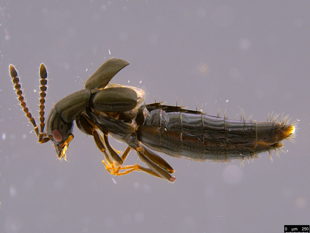 14a - Staphylinidae sp.