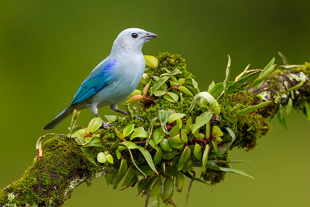 Perched Blue-Gray Tanager