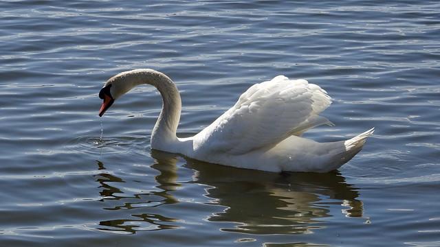 Swan reflex