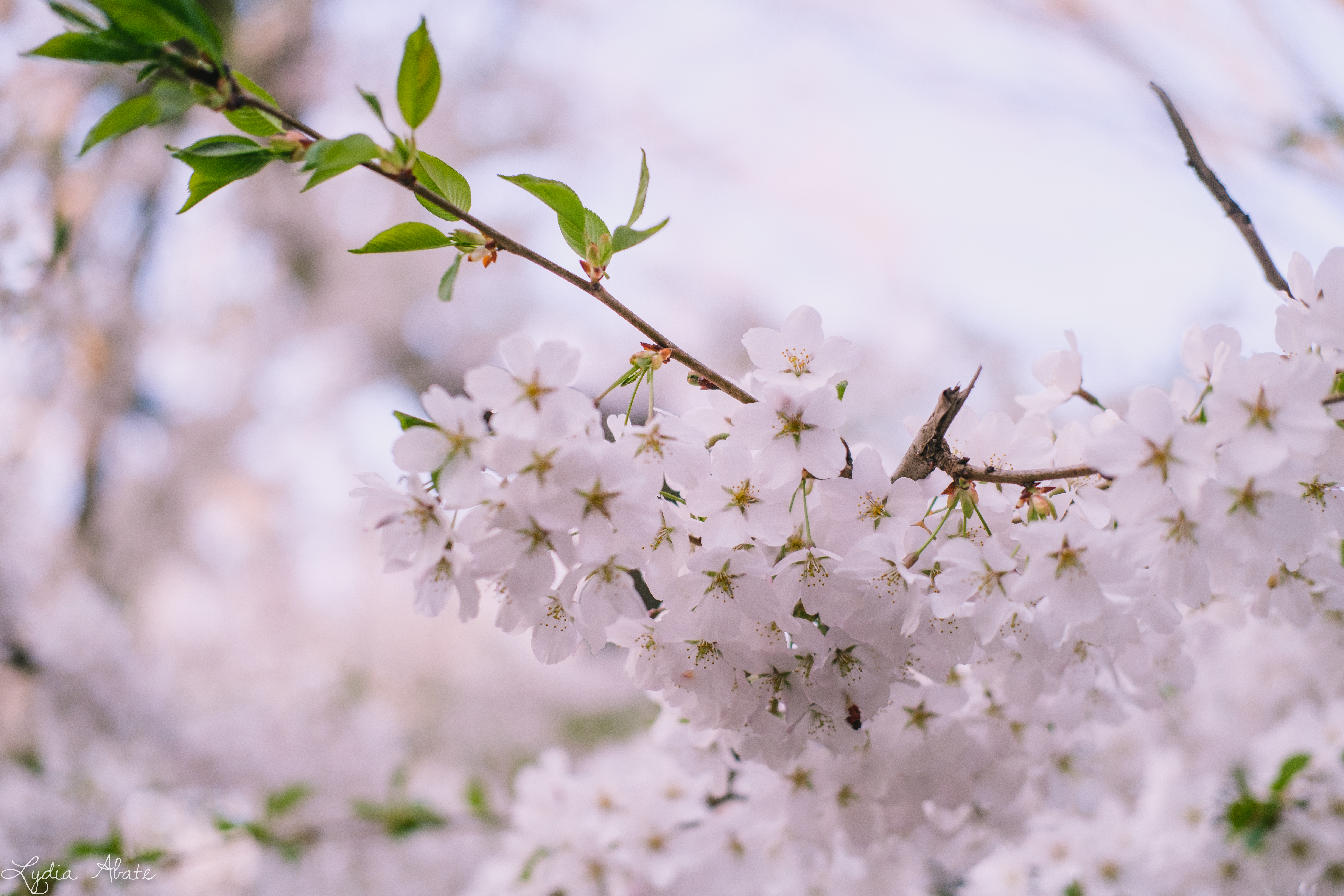 wooster square blossoms-3.jpg
