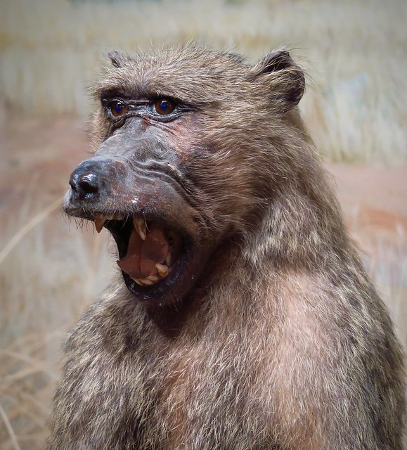 Call of the Baboon