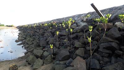Mangroves on Pulau Hantu seawall, Apr 2021