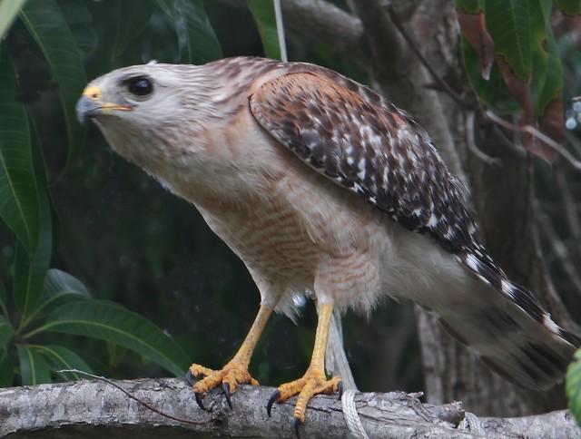 Hawk #4: RED-SHOULDERED