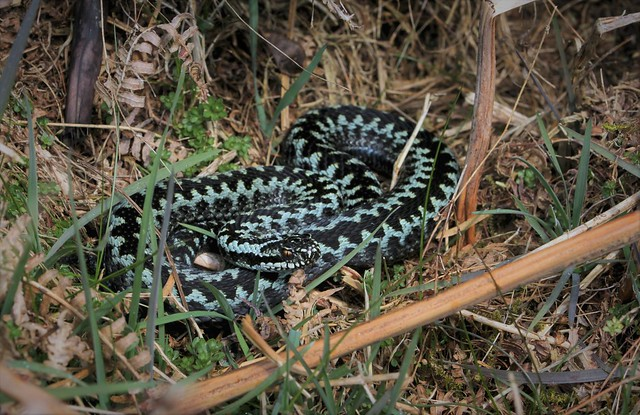 Freshly sloughed Blue Adder