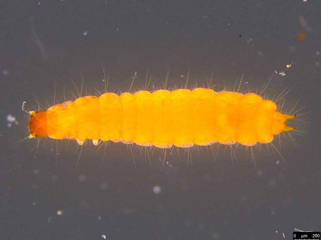 12a - Coleoptera sp.