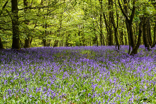 Nothing but bluebells