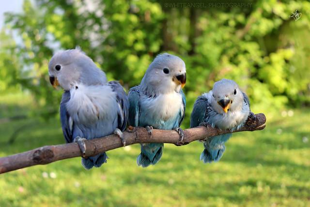 3 blue lovebird puppies in my courtyard. Ph. by #WhiteANGEL