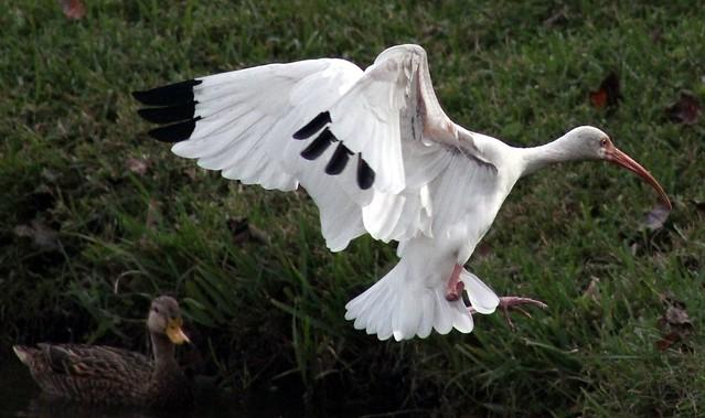 Ibis #29: WHITE