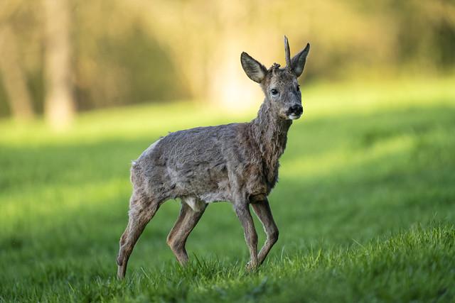 Chevreuil (Capreolus capreolus) Roe Deer