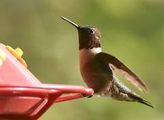 hummingbird042821