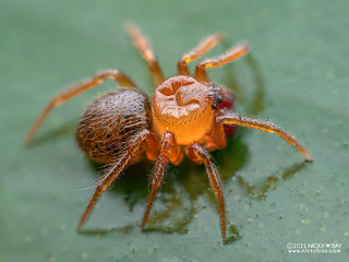 Comb-footed spider (Phycosoma sp.) - P4187989