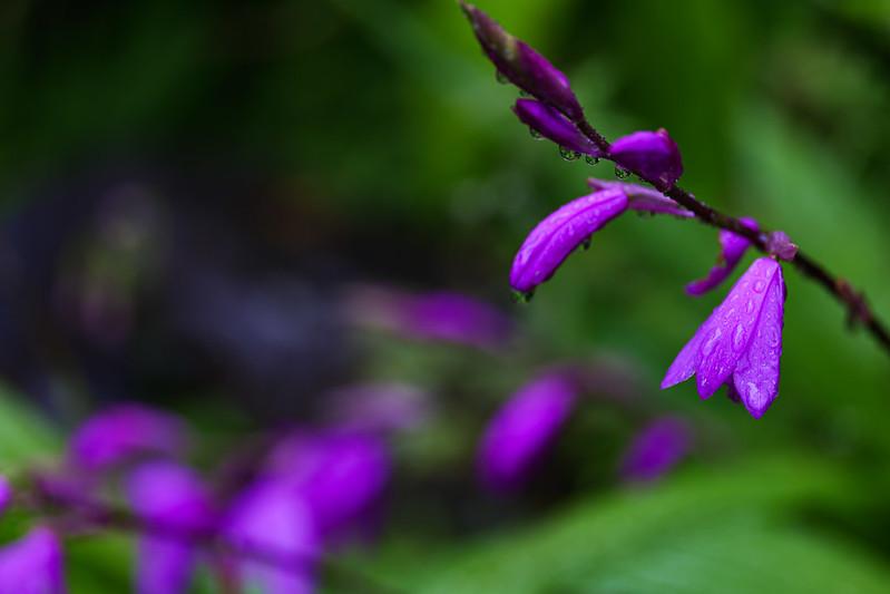 Purple Orchids in the Rain