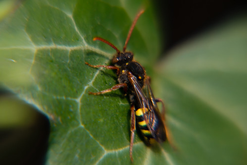 No, it's not a wasp (nomad bee)