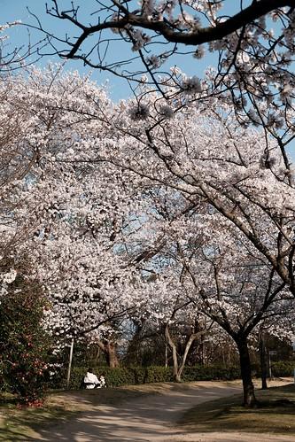 桜の花、舞い上がる道を 2021