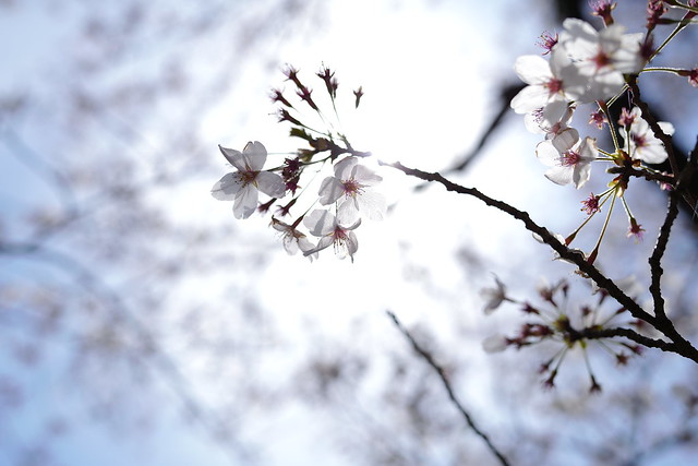 2021 Cherry blossoms 12