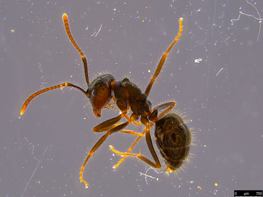 17a - Notoncus sp.