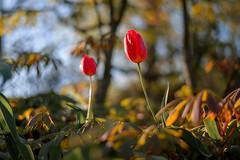Tulips in Eveningsun