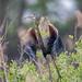 Airone rosso con ramo