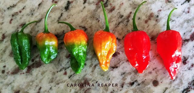 Pepper #44: CAROLINA REAPER #6