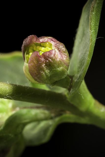 Ranunculus parnassifolius 'Nuria form' L., Sp. Pl. 1: 549 (1753)